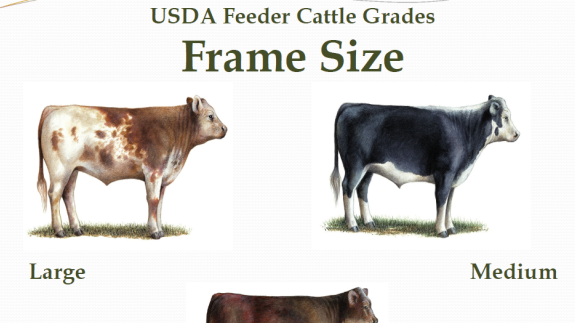 Feeder Cattle Grading U Grade Cattle