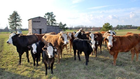 F1 Braford Cattle