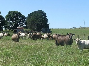 Beef Cattle Reared In A Pastoral Farming Manner