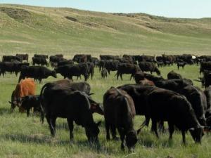 Nebraska BeefLive - Is nebraska in the united states
