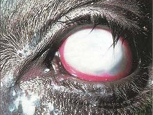 Pinkeye In Cattle Beef2live Eat Beef Live Better