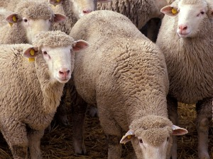 Top 10 States With The Most Sheep & Lambs - Beef2Live | Eat