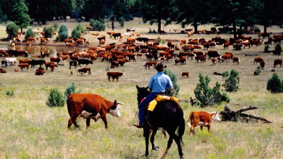 mexico cattle
