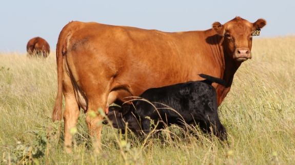 Production Calculations Related to Beef Cow Nutrition