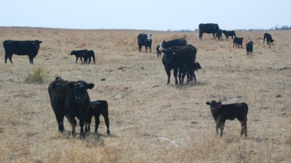 Cattle Terminology: Bulls, Springers, Freemartins